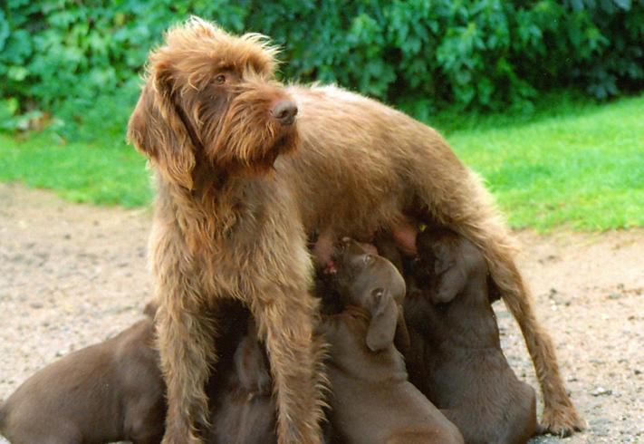 Пудель пойнтер с щенками
