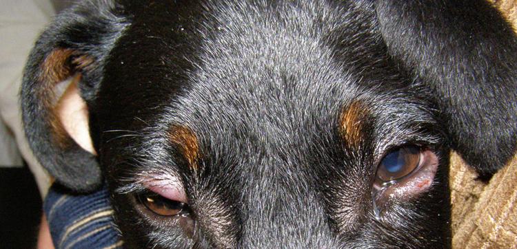 У пса блефарит