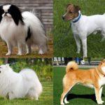 Породы японских собак: названия и фото