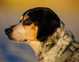 Цирроз печени у собак