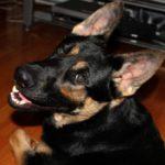 Что делать если у собаки тусклая шерсть?