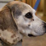 Новообразования у собак: виды, лечение, фото