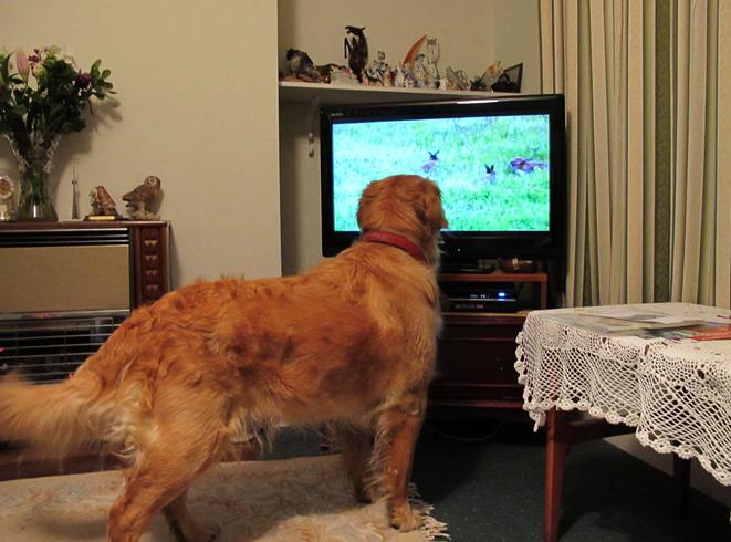 Собака и телевизор