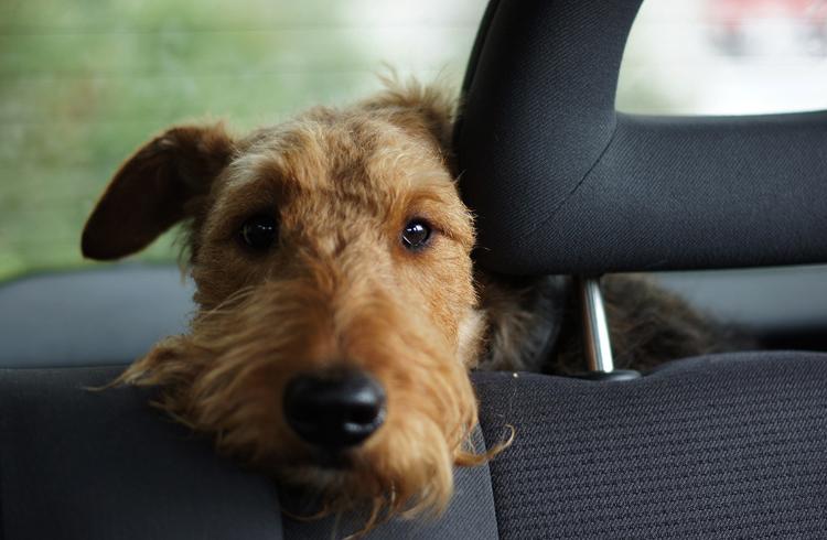 Песик в авто