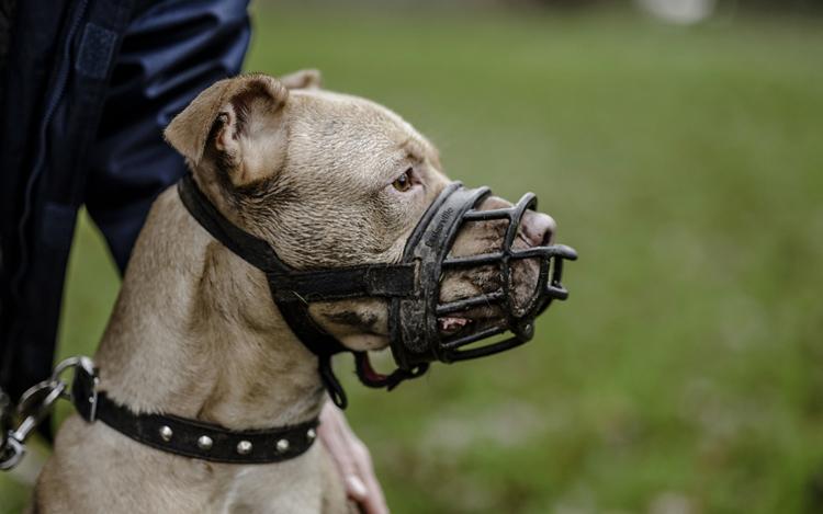 Собака с намордником