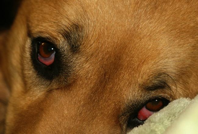У собаки синдром Горнера
