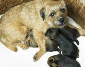 Эклампсия после родов у собаки