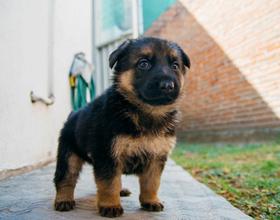 Как выбрать щенка немецкой овчарки