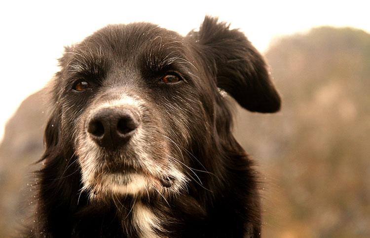 Глухота у пса