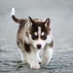Как выбрать щенка хаски и как за ним ухаживать