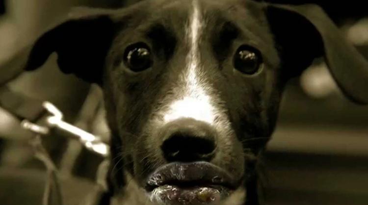 Герпес у собак  как лечить препараты