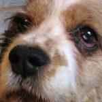 Синдром Горнера у собак: причины и лечение