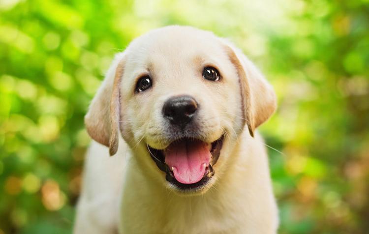 Красивый щенок лабрадора