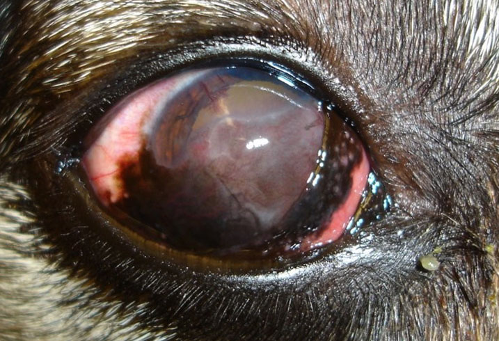 Пес с кератитом