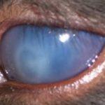 Кератит у собаки: причины, симптомы, виды и лечение