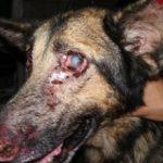Лейшманиоз у собак: признаки, симптомы и лечение