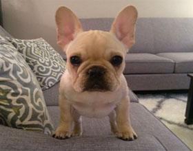 Как правильно выбрать щенка французского бульдога?
