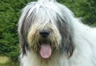 Румынская миоритская овчарка - мордочка