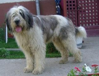 Румынская миоритская овчарка стоит