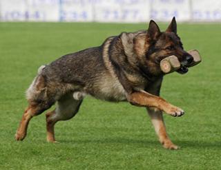 Немецкая овчарка бежит
