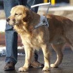 Породы собак поводырей: описание и фото
