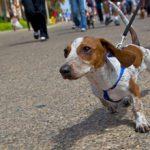 Как приучить собаку ходить на поводке?