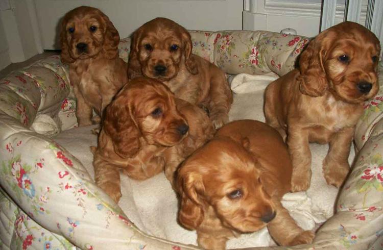 Много красивых щенков