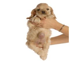 Пупочная грыжа у собак