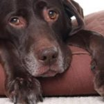Повышеный ЛДГ у собак: причины и что делать