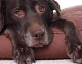 Повышеный ЛДГ у собак