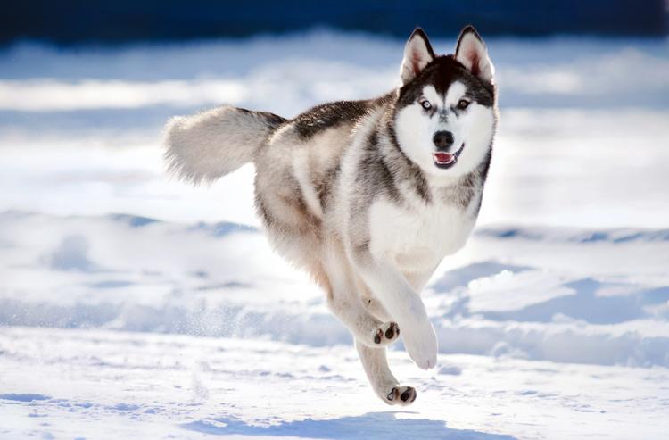 Скорость собаки при беге
