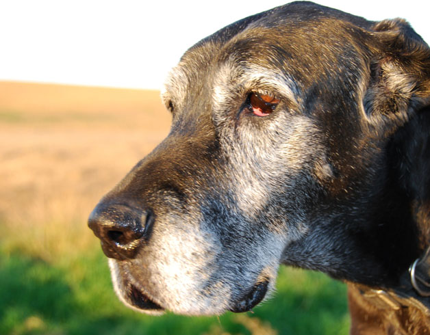 Нарушение зрения у собаки
