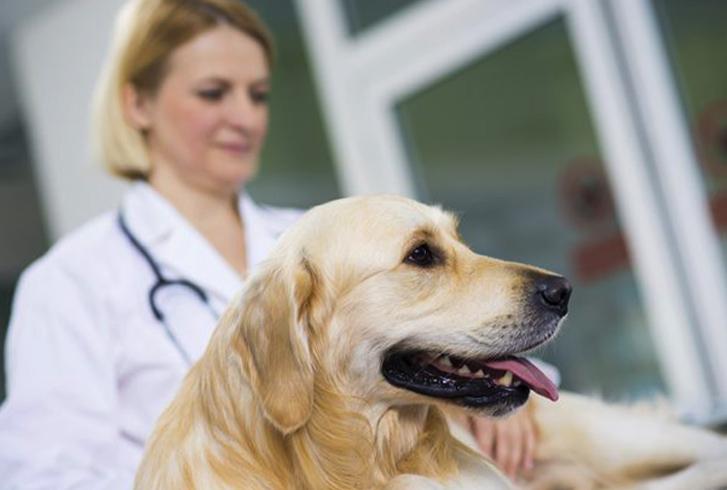 Собака с вагинитом у ветеринара