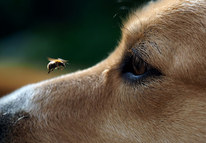 Собака и пчела