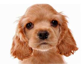 Как выбрать щенка кокер спаниеля