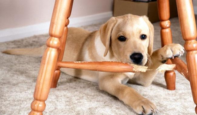 Собака и стул