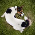 Почему собака бегает за своим хвостом?