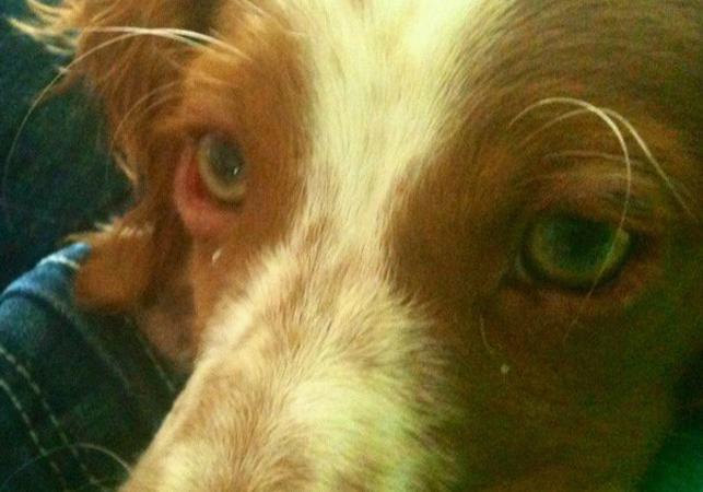 У красивой собачки блефарит