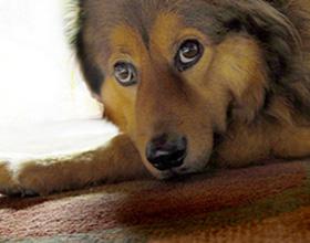 Радикулит у собак