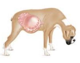 Вздутие живота у собаки