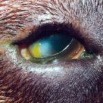 Заворот век у собак: причины, лечение, операция, фото