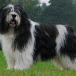 Польская низинная овчарка — описание, характеристика, характер, фото
