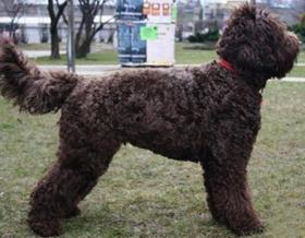 Французская водяная собака