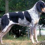 Голубая гасконская гончая собака(большая и малая) — описание и фото