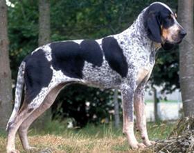 Голубая гасконская гончая собака