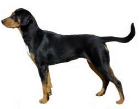 Трансильванская гончая собака
