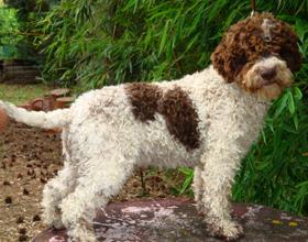 Итальянская водяная собака