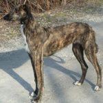 Американская оленья собака — описание породы, характер, фото