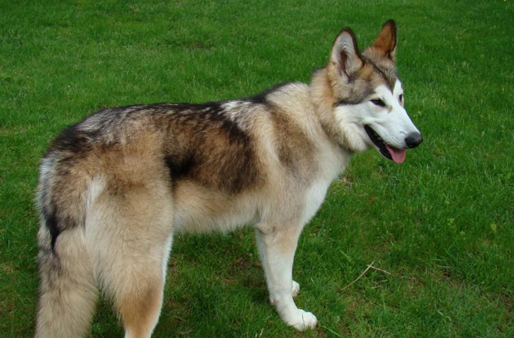 Американская индейская собака на травке