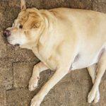 Заворот кишок у собаки: причины, симптомы и лечение